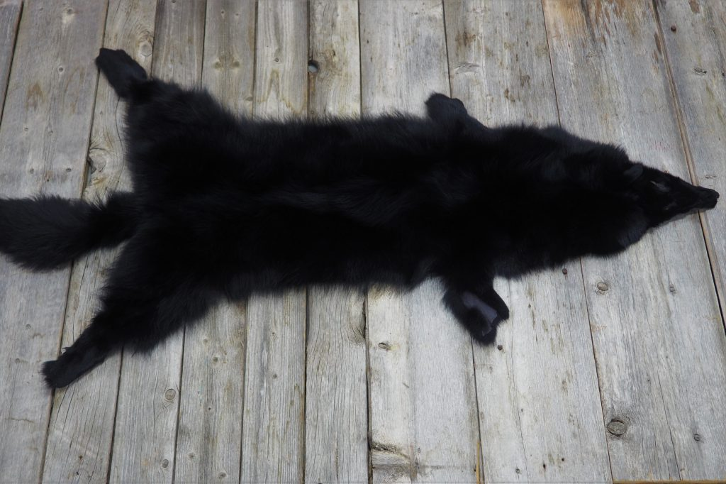Dyed black coyote